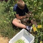 harvesting-green-beans